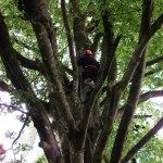 CS38 – (002013) Tree Climbing & Rescue & CS39 – (002108) Aerial Cut Free Fall Course - with Setanta Tree Care & Surgery